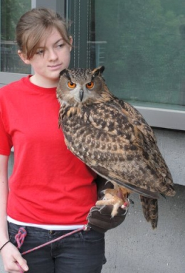 Eurasian Eagle Owl, Bubo